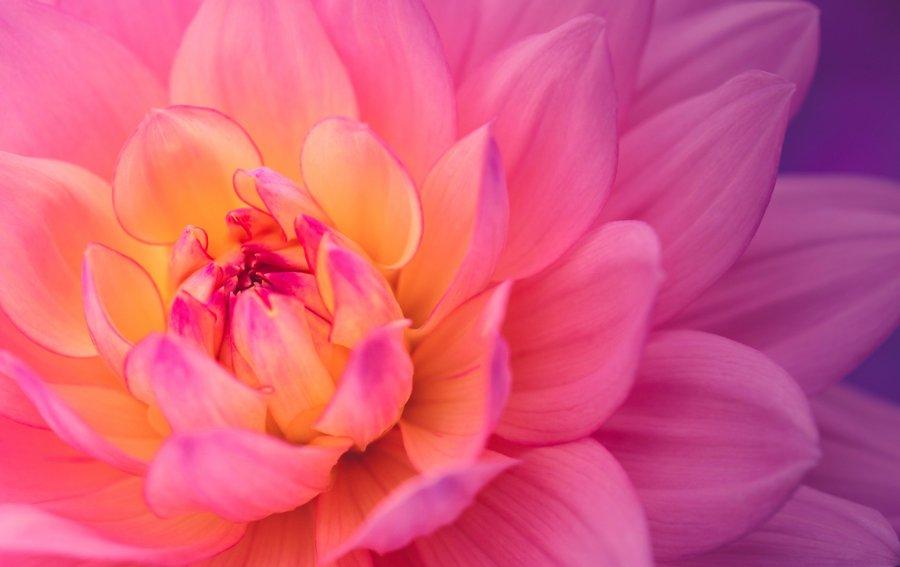 Bild von dem Produkt Blume Rosa Vorderseite