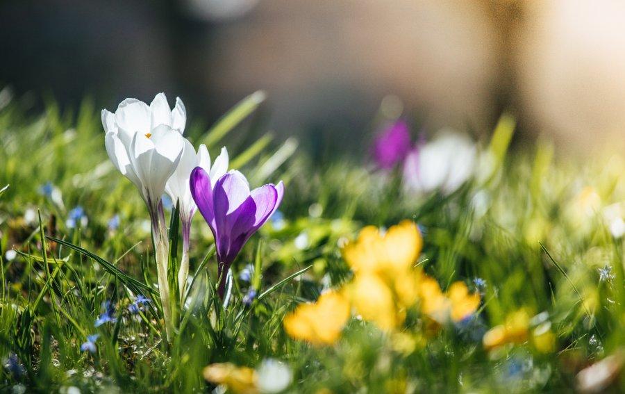 Bild von dem Produkt Frühlings Krokus Vorderseite