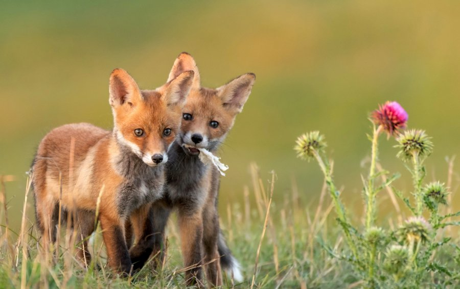 Bild von dem Produkt Fuchsbabys Vorderseite
