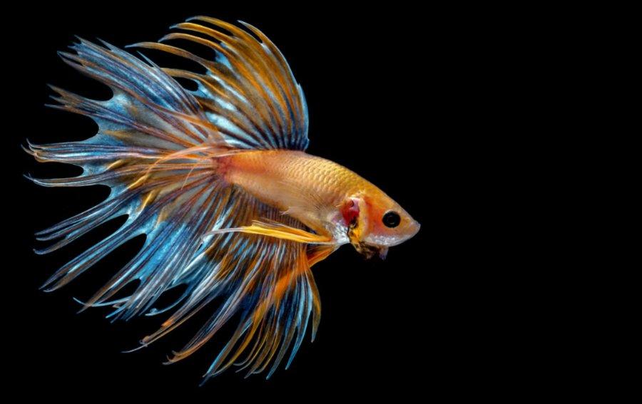 Bild von dem Produkt Goldfisch Vorderseite