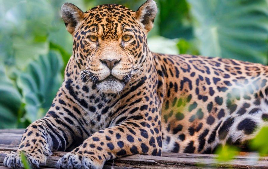 Bild von dem Produkt Jaguar Vorderseite