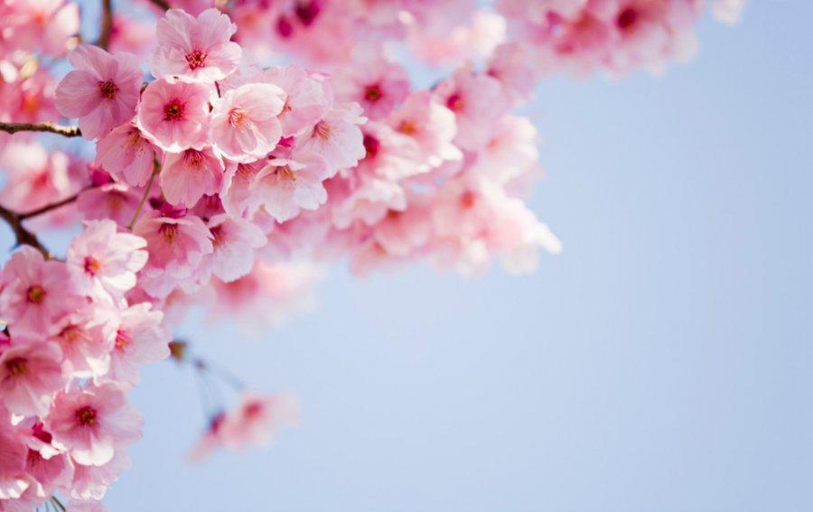 Bild von dem Produkt Japanische Kirschblüte Vorderseite