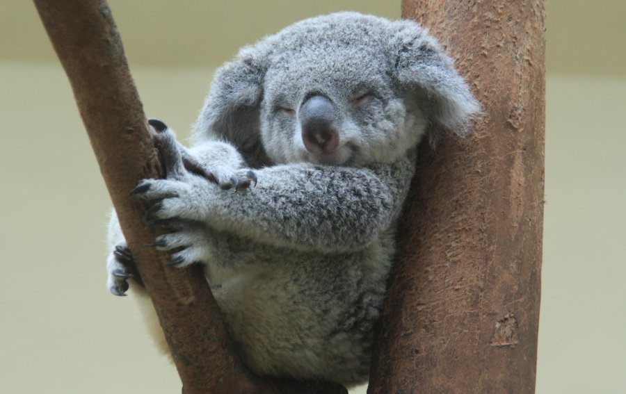 Bild von dem Produkt Koala Vorderseite