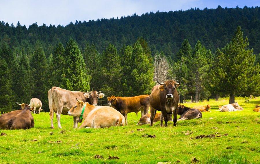 Bild von dem Produkt Kühe Vorderseite