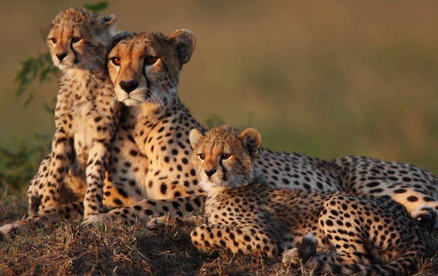Bild von dem Produkt Leoparden Vorderseite