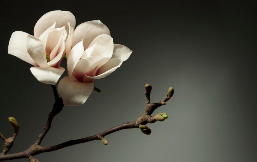 Bild von dem Produkt Magnolie Vorderseite