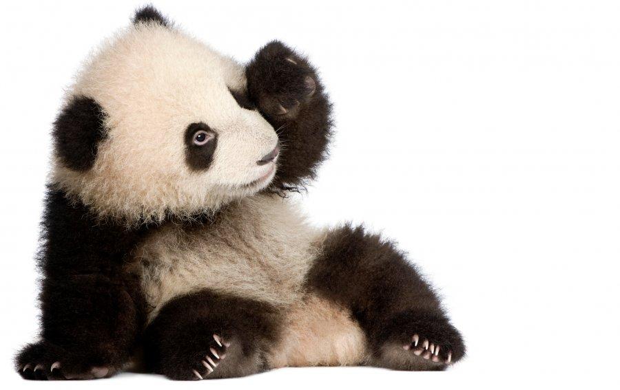 Bild von dem Produkt Panda Vorderseite