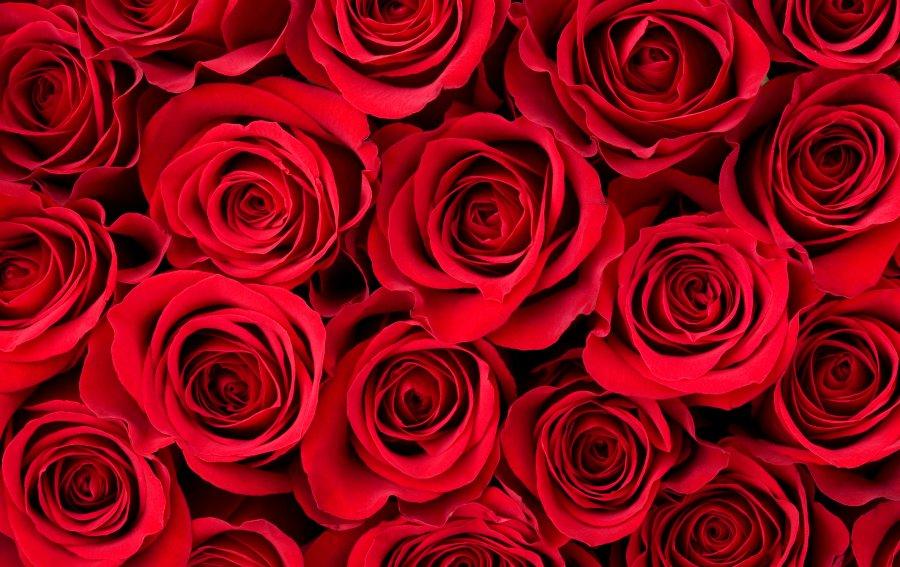 Bild von dem Produkt Scharlachrote Rosen Vorderseite