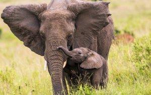 Bild von dem Produkt Elefant mit Baby