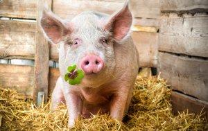 Bild von dem Produkt Glücks-Schwein