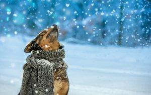 Bild von dem Produkt Hund im Schnee