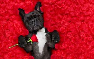 Bild von dem Produkt Hund mit Rose