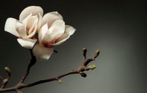Bild von dem Produkt Magnolie