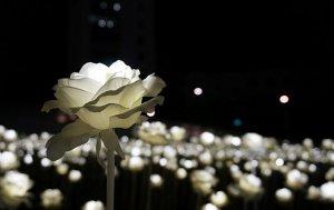 Bild von dem Produkt Rose in der Nacht