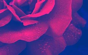 Bild von dem Produkt Rose